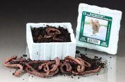 Kanadische Tauwürmer 25er Pack in Thermoverpackung