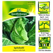 Quedlinburger Spitzkohl Sorte Express - Brassica oleracea / sehr frühe Sorte / Ernte Juni bis Oktober